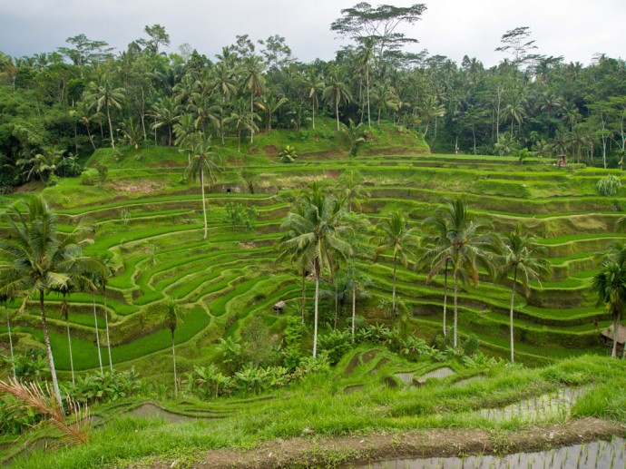 Rice terraces on Bali