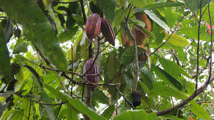 Cacao tree along the way to the Tiu Teja waterfall