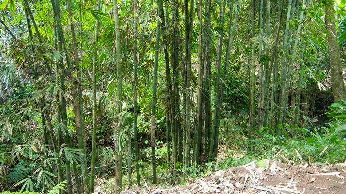 Bamboo trees along the way to the Tiu Teja waterfall