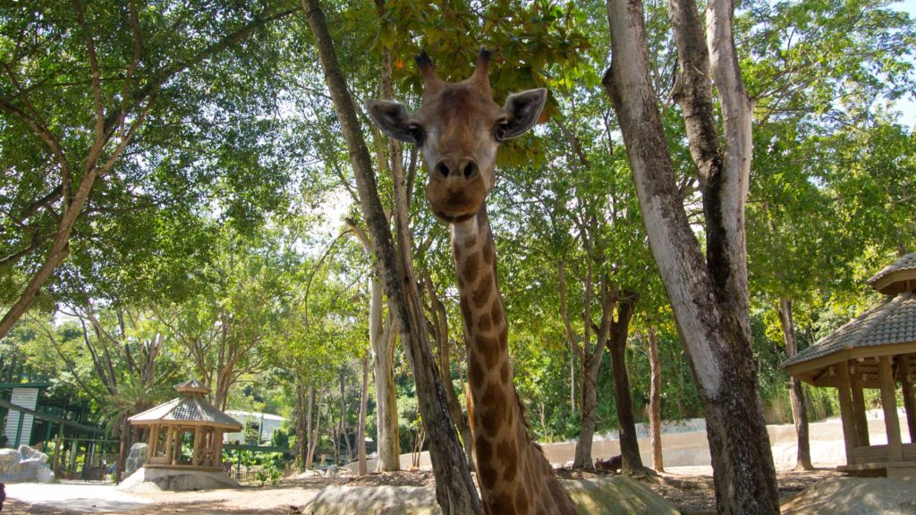 A giraffe in the Chiang Mai Zoo