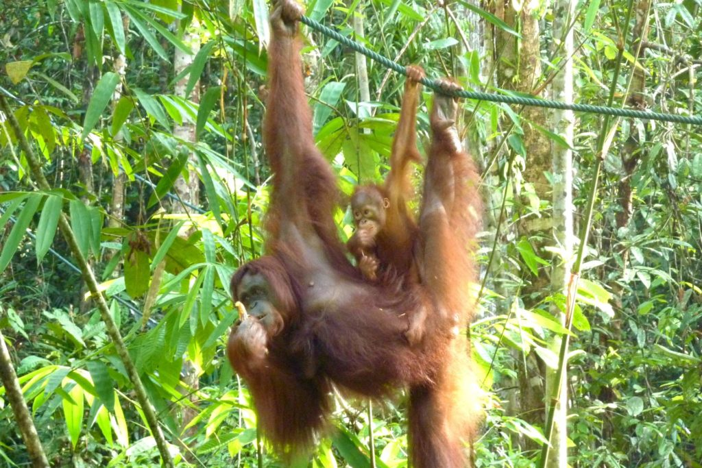 Orangutans in the jungle of Borneo
