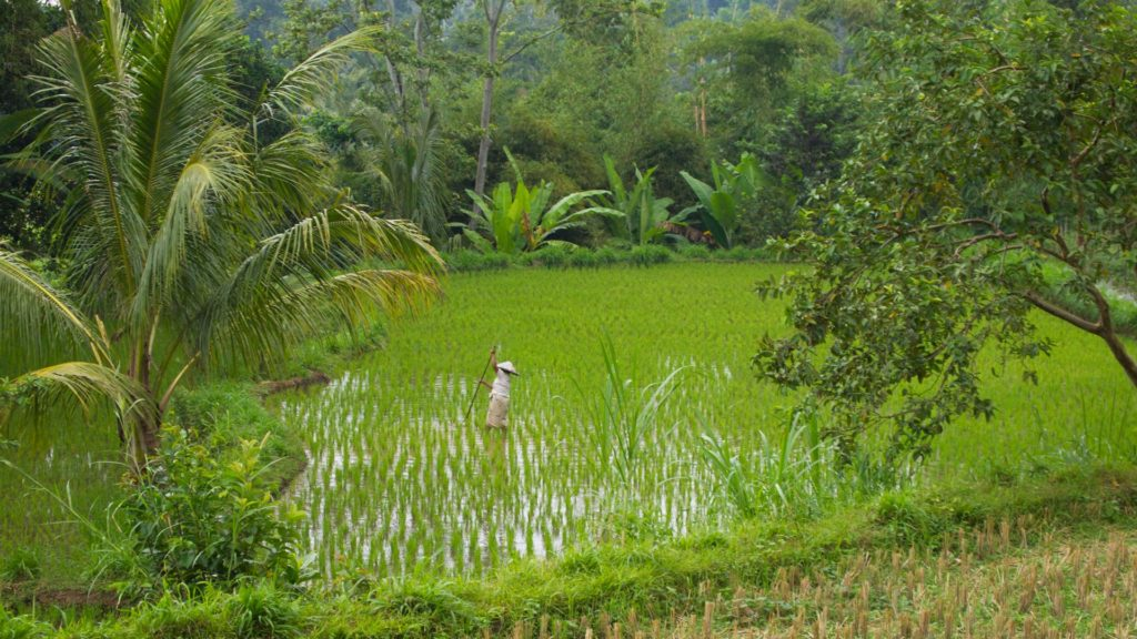Rice fields in Tetebatu, Lombok
