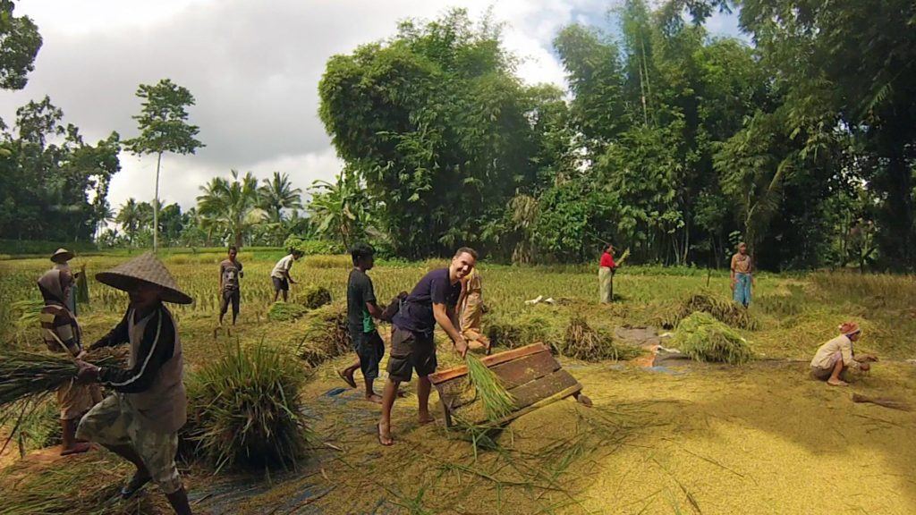 Marcel during the rice harvest in Tetebatu