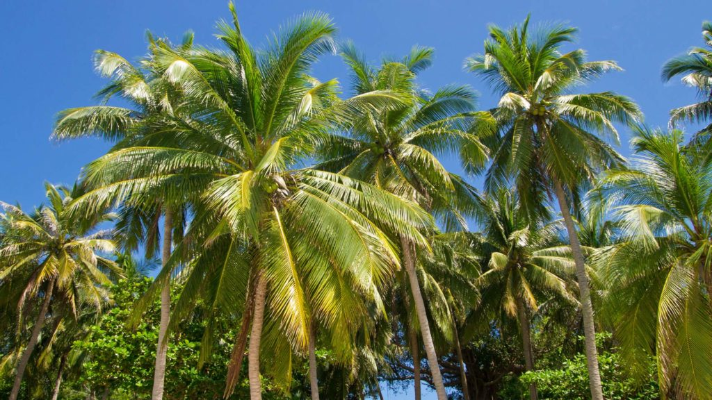 Tropical palm trees on Fingernail Island, Phu Quoc