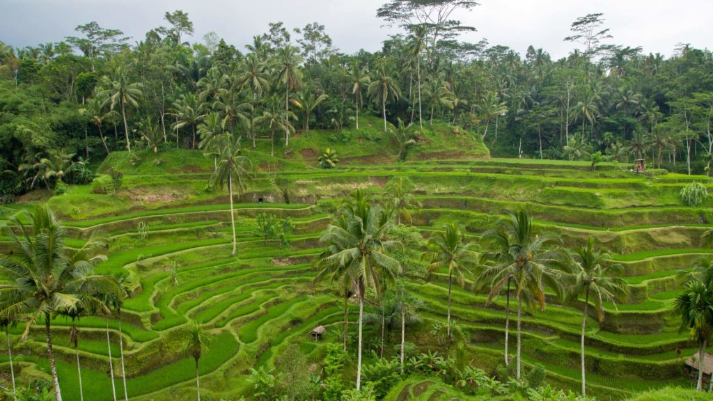 The rice terraces of Tegalalang near Ubud