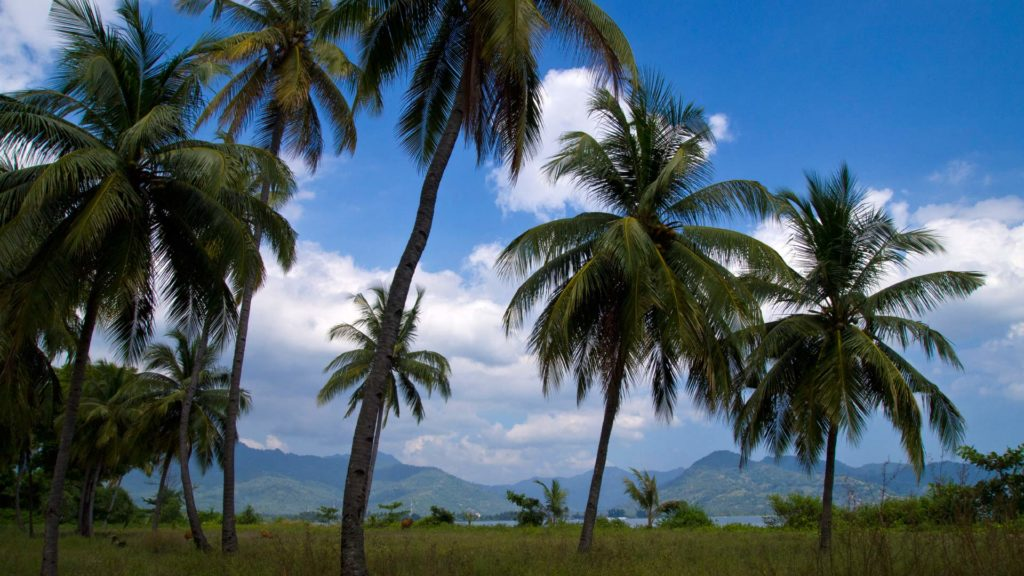 Coconut trees on the Sire peninsula of Lombok