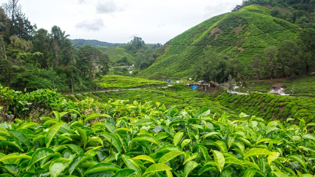 Die Boh Tea Teeplantage in den Cameron Highlands