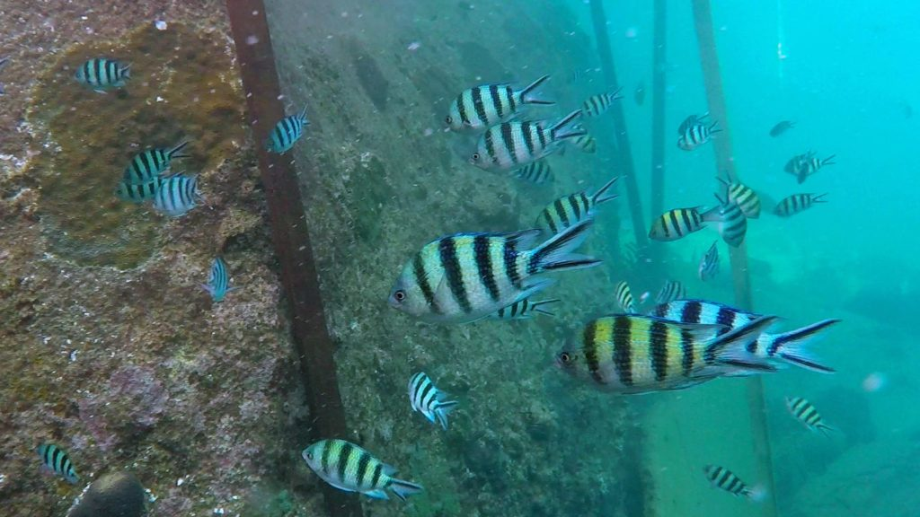 Snorkeling with fish in Koh Tao's Mango Bay