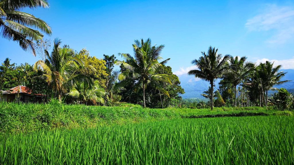Green rice fields and palm trees in Tetebatu