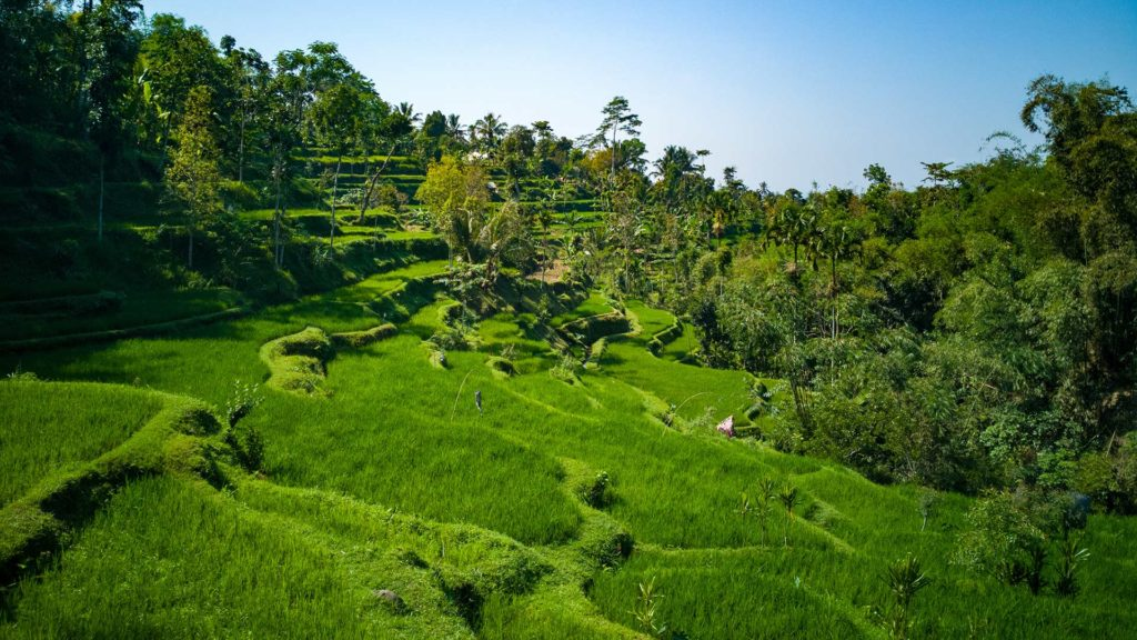Green rice terraces in Tetebatu, Lombok