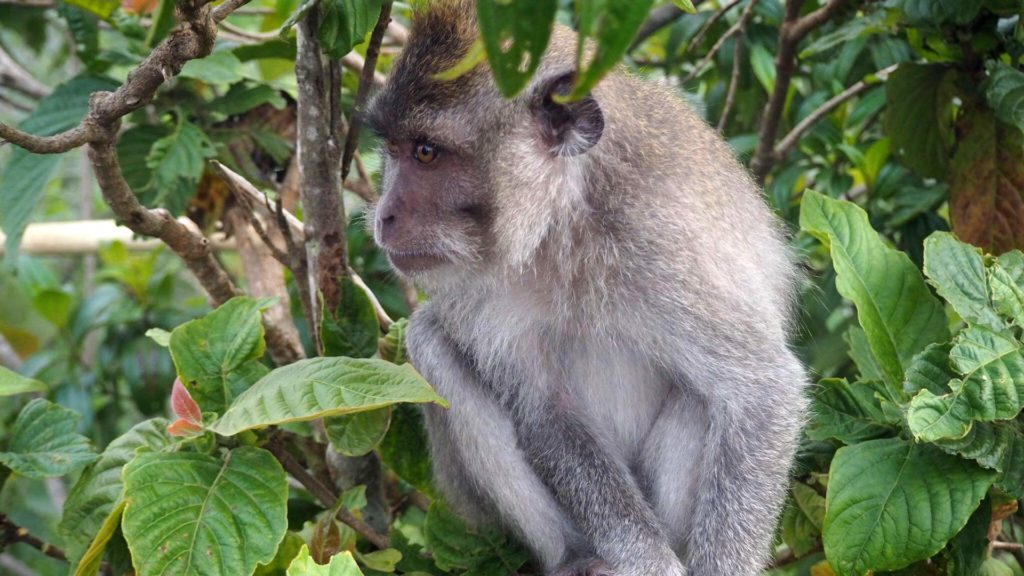 Monkey on a trekking tour to Mount Batur in Bali