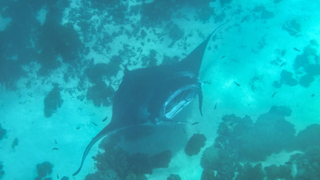 Manta Rays while diving in the Komodo National Park