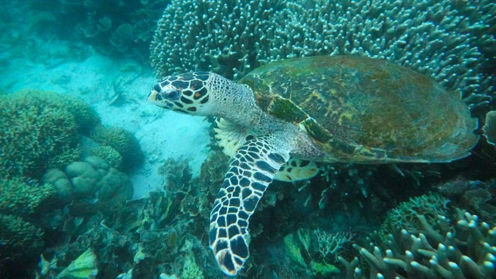Turtle diving in the Komodo National Park (Flores, Indonesia)