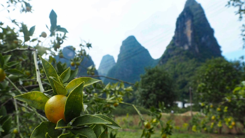 Orange trees in Xingping