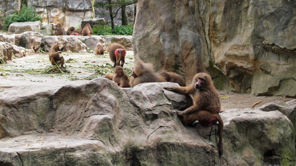 Baboons in the enclosure of Singapore Zoo