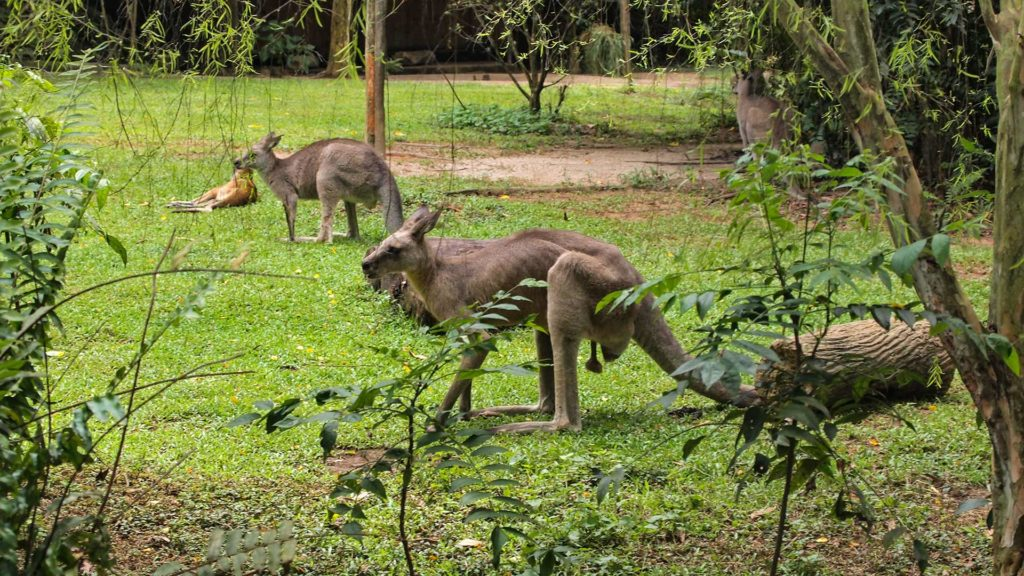 Kangaroos in the zoo of Singapore