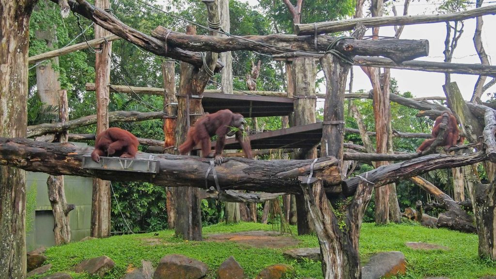 The compound of the Orang Utans, Singapore Zoo