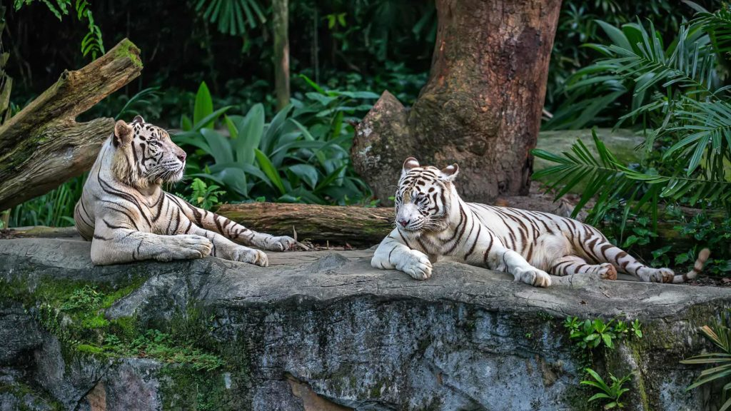 White tigers in the zoo of Singapore