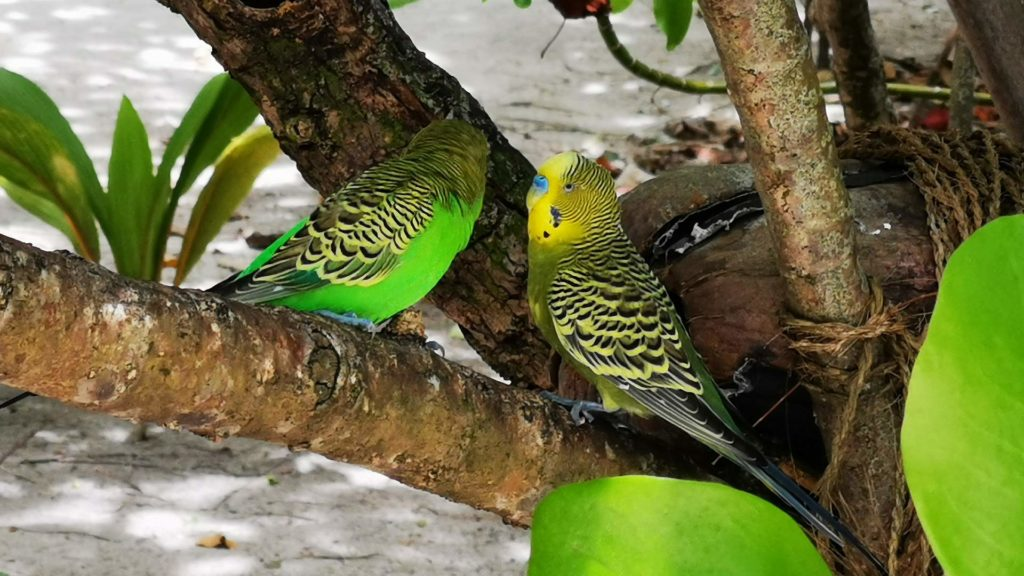 Two colorful birds in the island center of Thulhagiri Island, Maldives