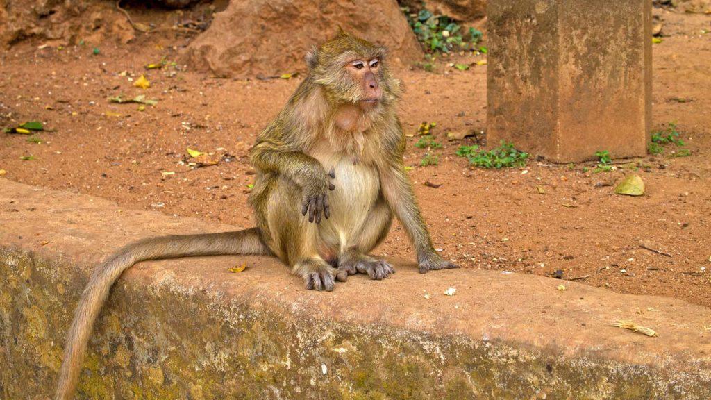 Affe vor dem Wat Suwan Kuha in Phang Nga
