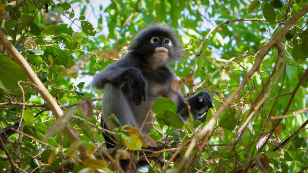 Dusky leaf monkey in the Kaeng Krachan National Park, Thailand