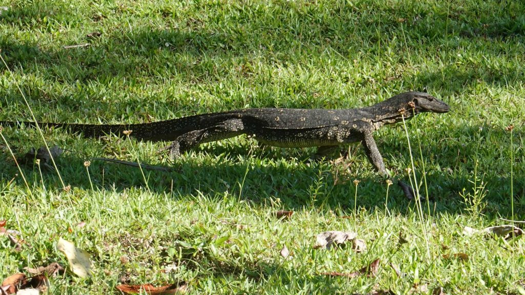 Little monitor lizard in Cubadak, Indonesia