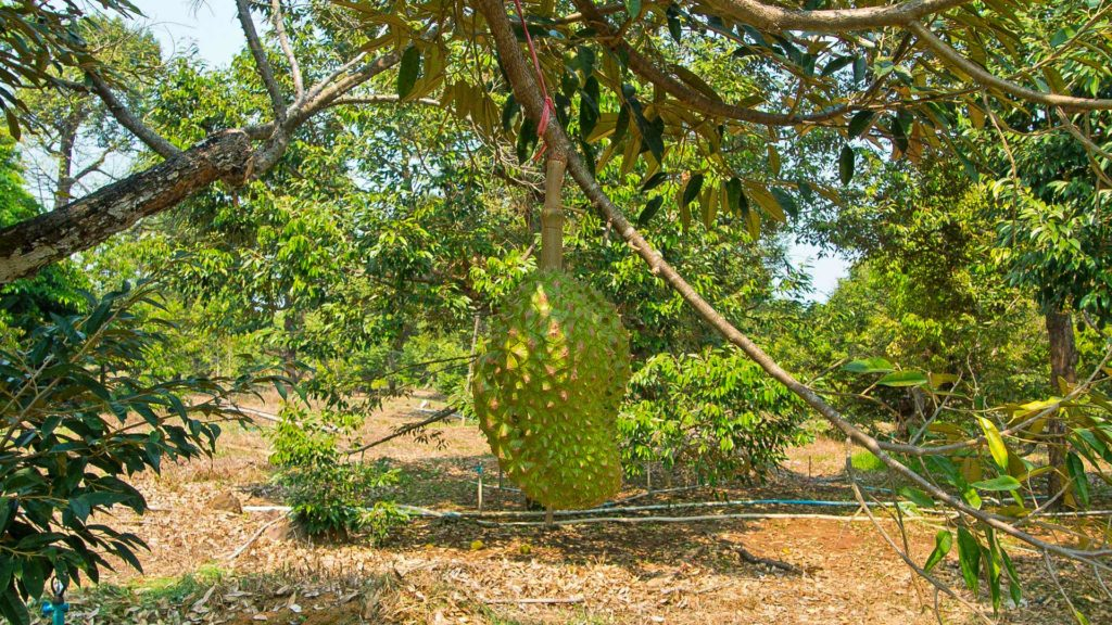 Durian fruit on the tree on Koh Chang