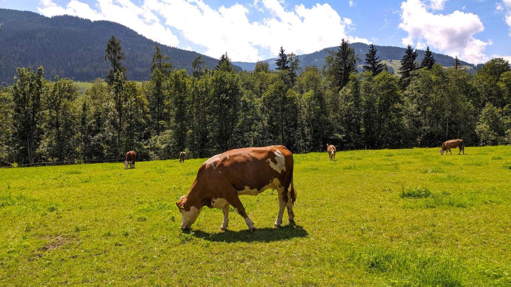 Cow on a green meadow in Leogang, Austria